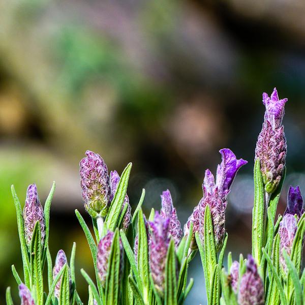 Lavender by elysabet