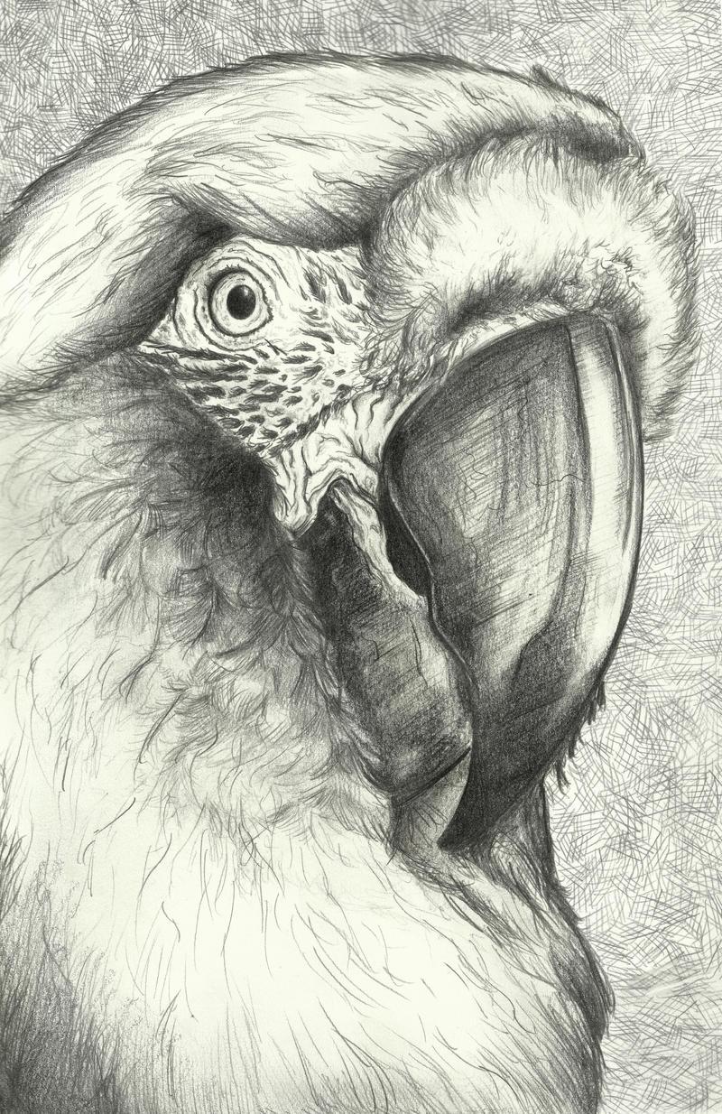 Macaw by Pidgel