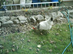 Doris the chicken