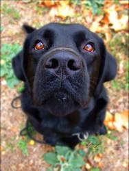 Autumn Dog Labrador Retriever