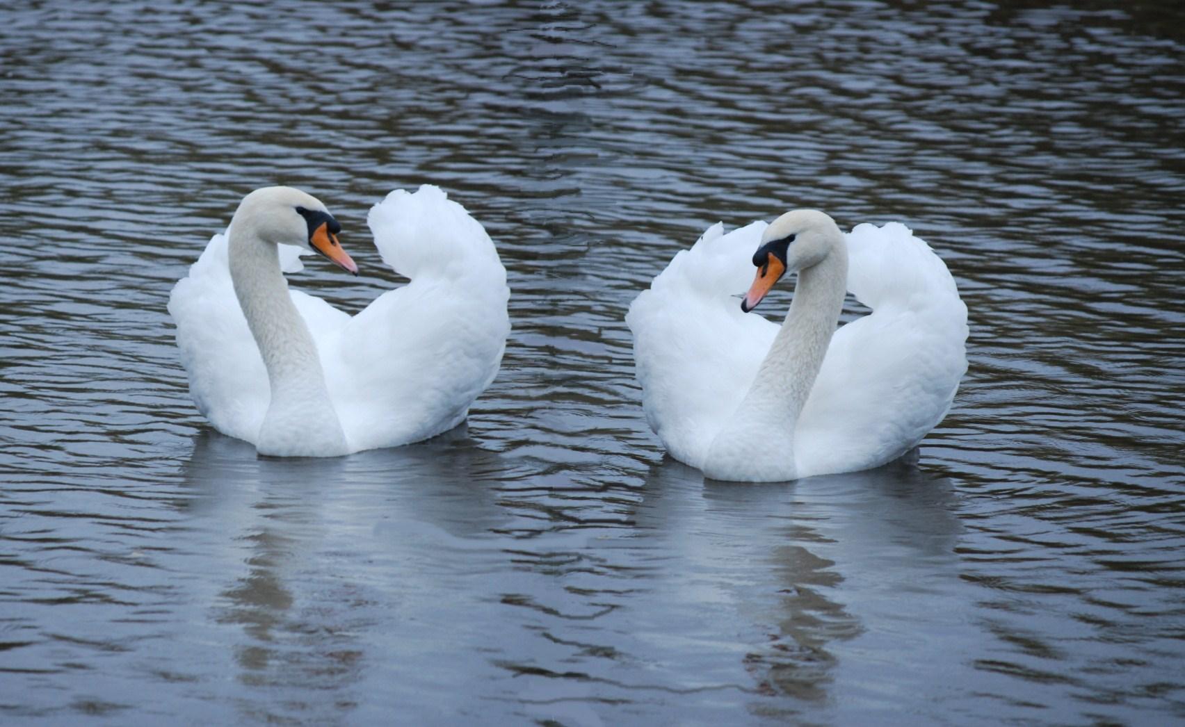 Swan Twins by taramara