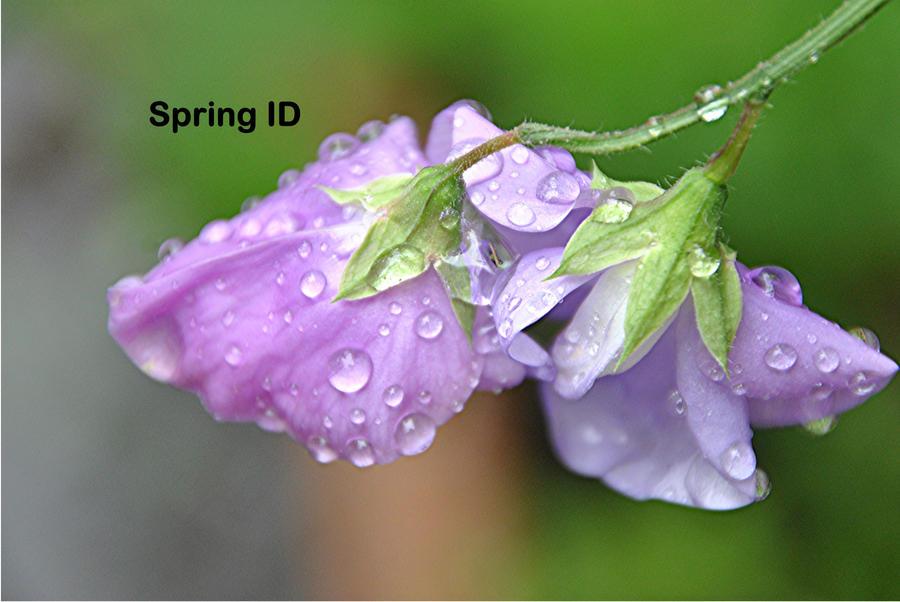 Spring ID by taramara