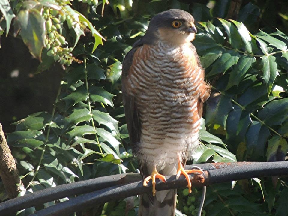 Sparrow Hawk by taramara