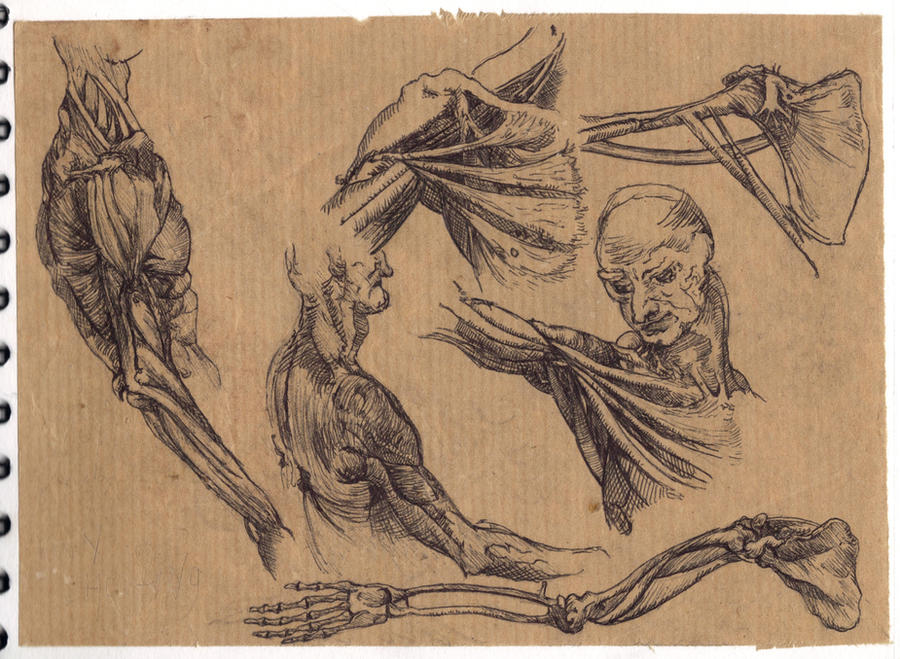 Leonardo da Vinci Anatomical Studies by thingmebob on DeviantArt