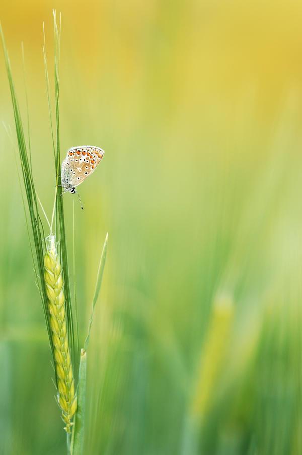 cornfield butterfly by mescamesh