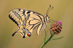papilio machaon 2008 by mescamesh