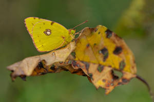 autumn butterfly by mescamesh