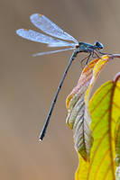 autumn damselfly by mescamesh