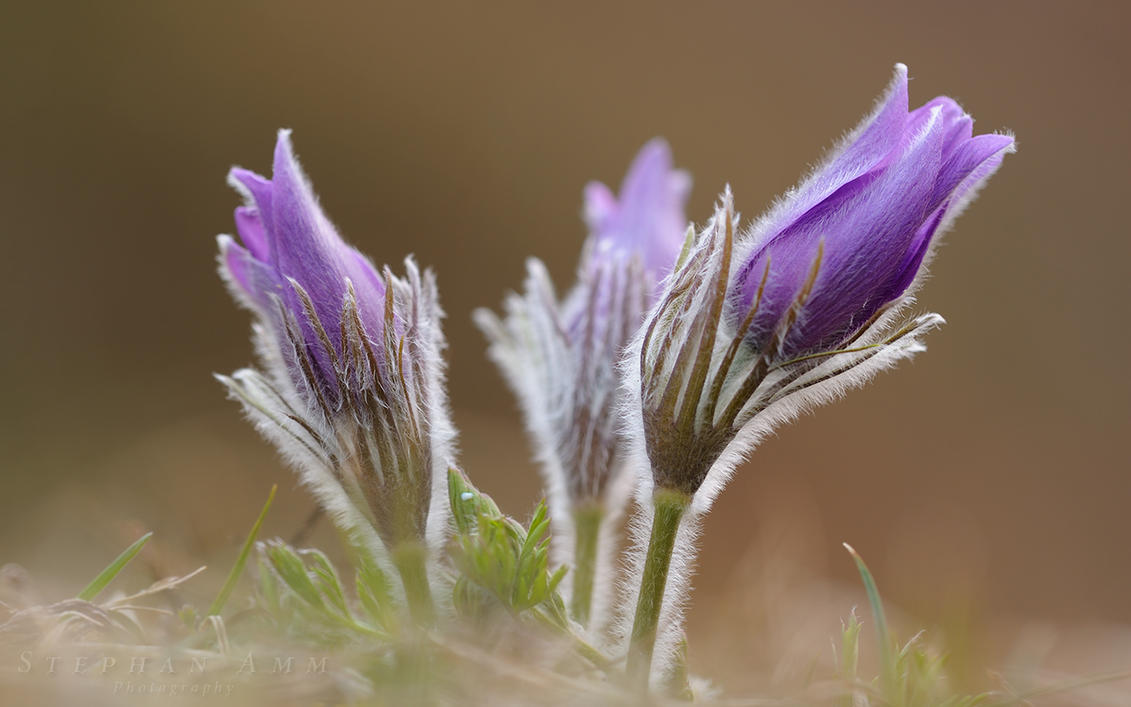 pulsatilla wallpaper by mescamesh