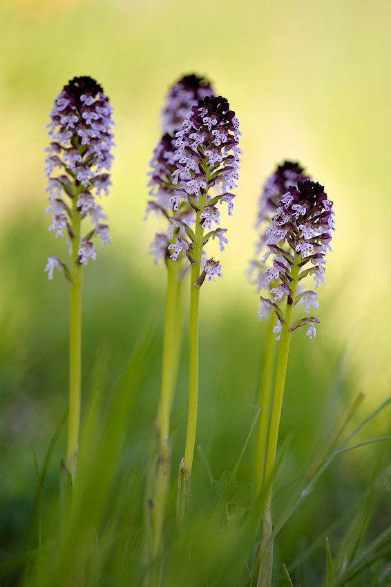 orchis ustulata by mescamesh