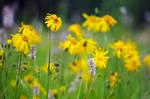 Arnica montana meadow