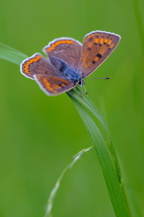 Lycaena alciphron by mescamesh