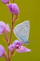 polyommatus daphnis 09 by mescamesh