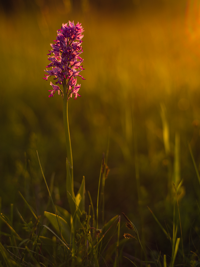Orchis militaris 2010 by mescamesh