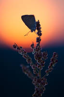 Lycaena hippothoe II by mescamesh