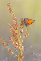 Lycaena hippothoe III by mescamesh