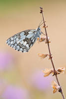 Marbled White by mescamesh