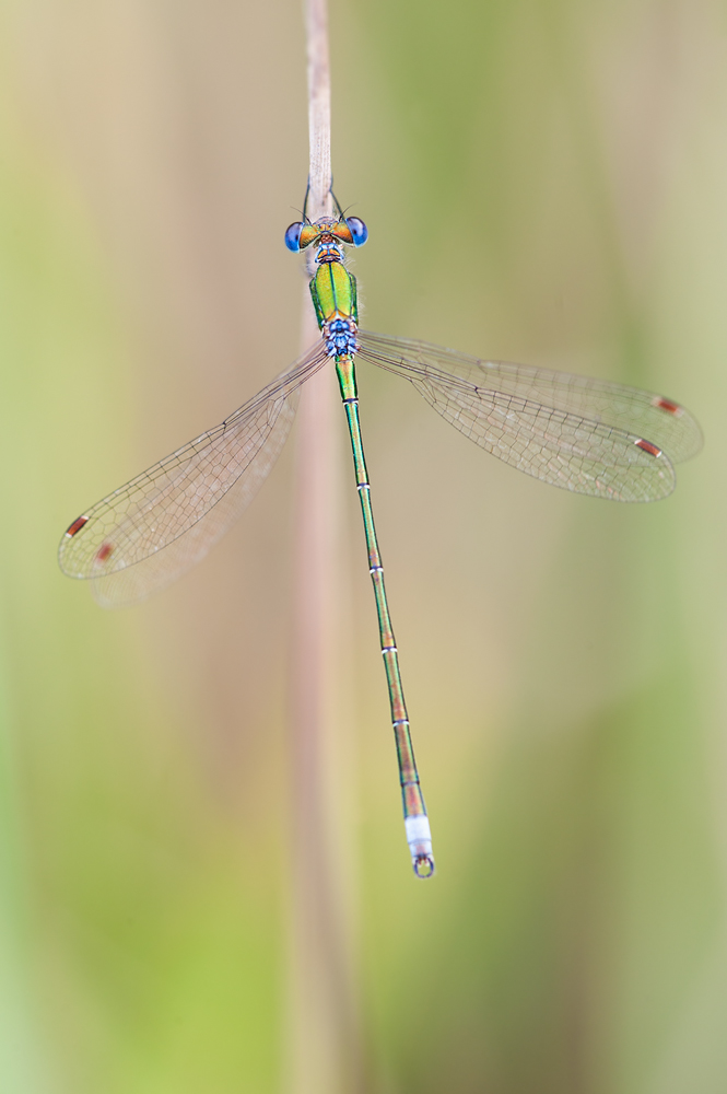 Lestes virens topview by mescamesh