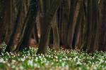 leucojum forest
