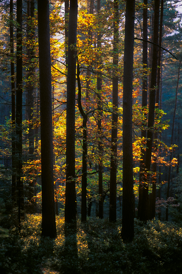 oaked pines by mescamesh