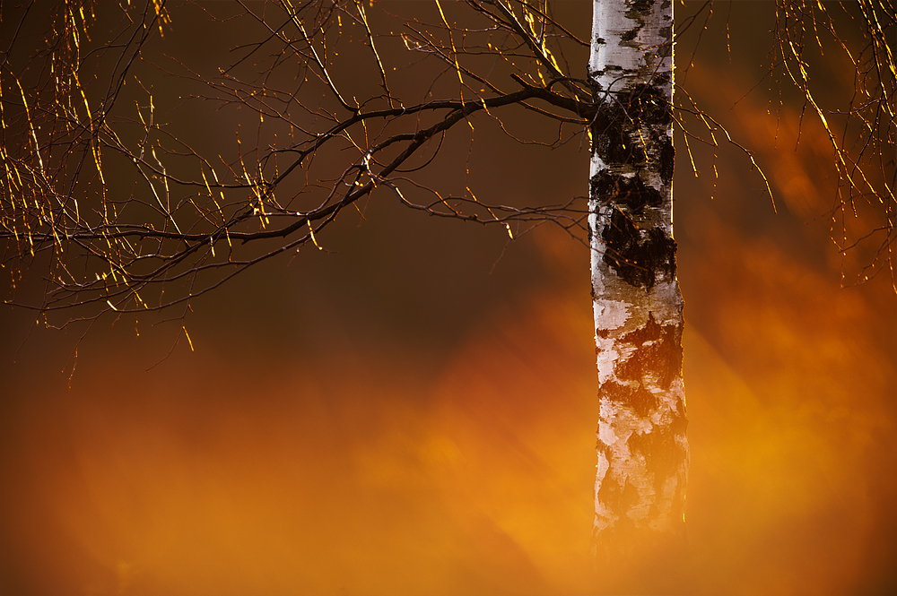 golden spring birch by mescamesh