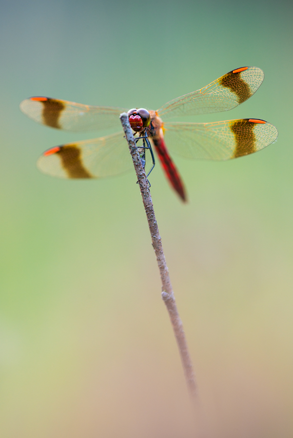 banded darter by mescamesh