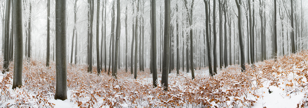winter beech forest by mescamesh