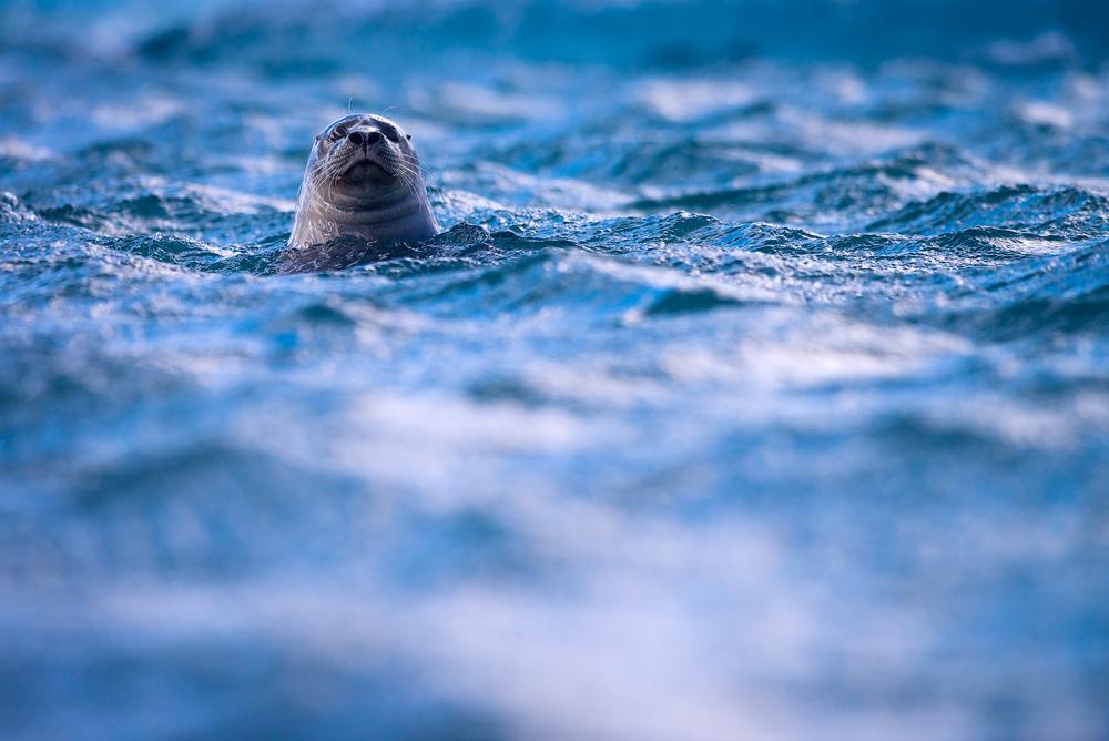 grey seal by mescamesh