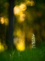 Platanthera Bifolia by mescamesh