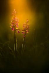 Orchis morio by mescamesh