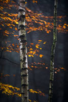 beeches and birches by mescamesh