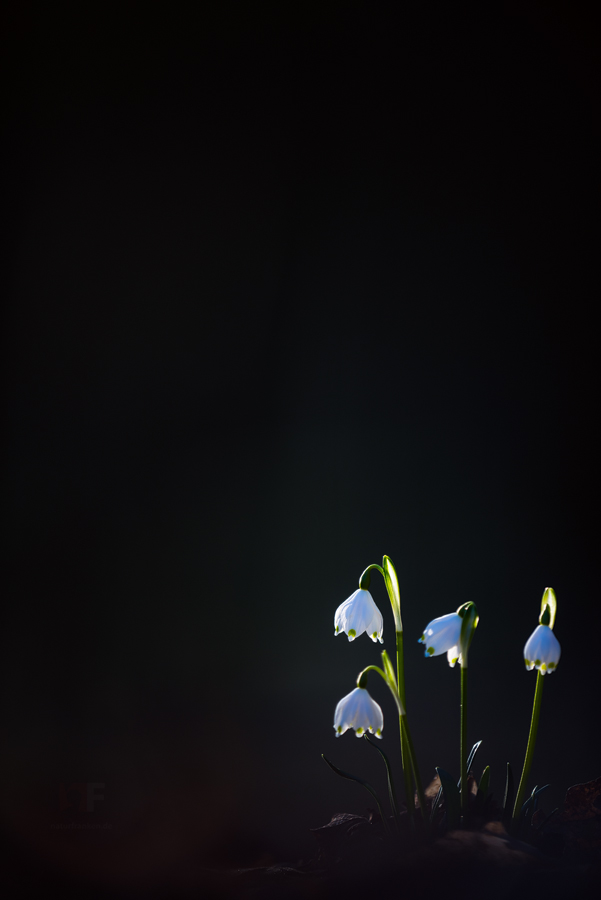 leuojum in  morning sun by mescamesh