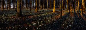 Leucojum forest pano