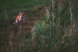 Red Fox by mescamesh