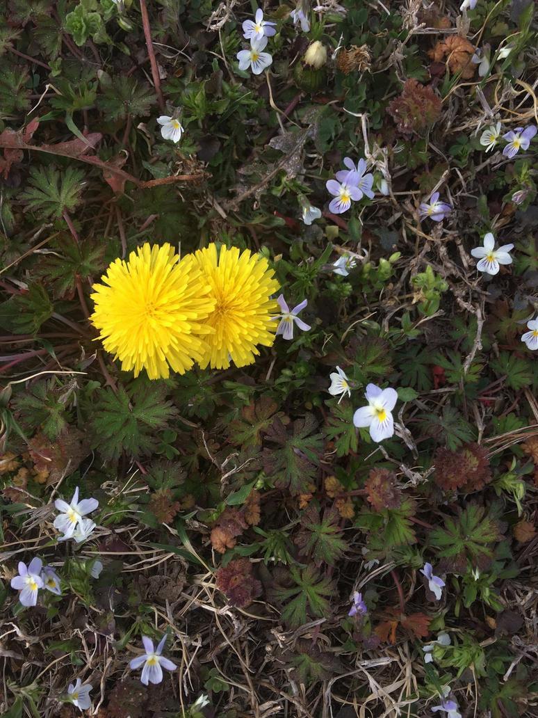 A dandelion  by Heyitshaileyk