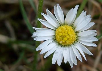 Daisy by nova-images