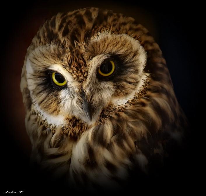 Owl by Lilia73