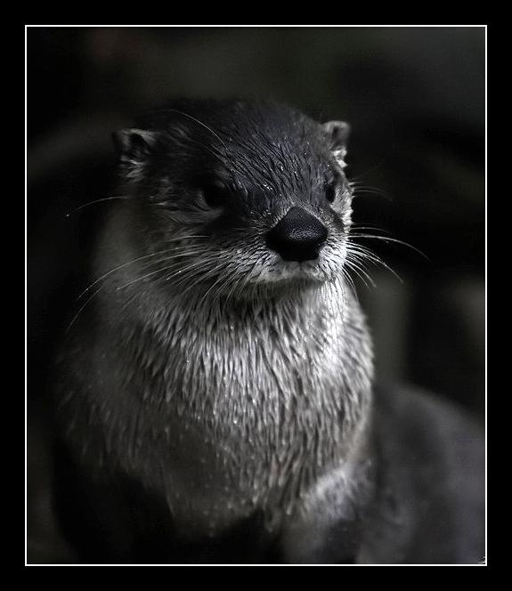 Animal de métamorphose : Nemo d'Amaël Glamure_Otter_by_Lilia73