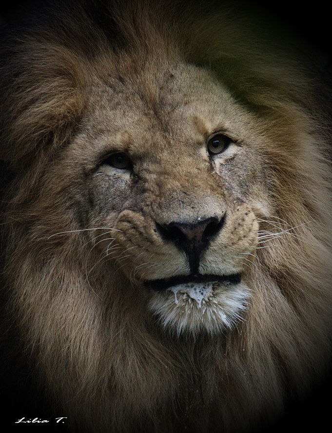 Lion smile by Lilia73 on DeviantArt