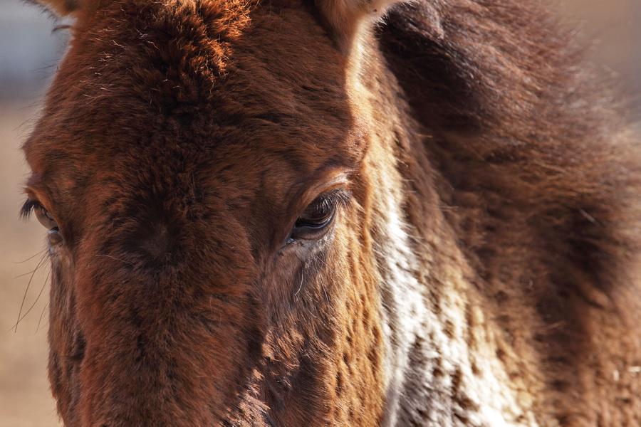 Equus przewalskii by Lilia73