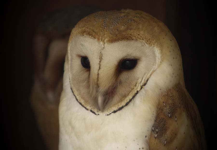 Owl VII by Lilia73