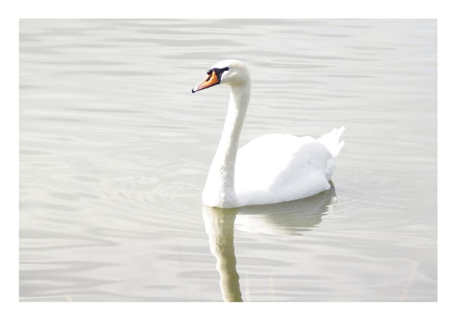 Swan by Lilia73