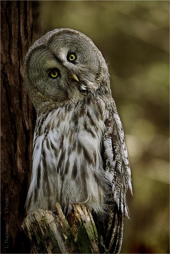 Big gray owl III by Lilia73