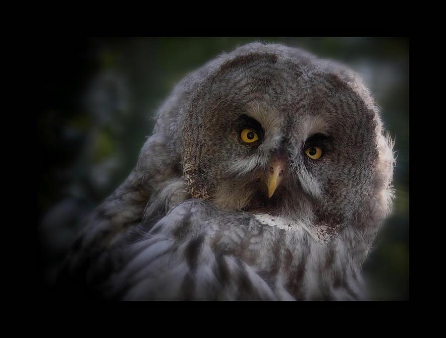 Big grayay owl by Lilia73