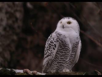 Snowy owl by Lilia73