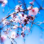 Candy blossom tree