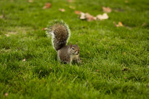 British Squirrel