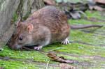 Medieval Rat Torture (Short)