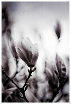 Flower of the Aquitane