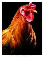 Chicken by rgp12000